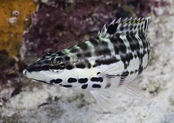 Harlequin Seabass photo from St. Croix