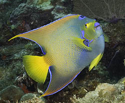 Queen Angelfish in St. Croix