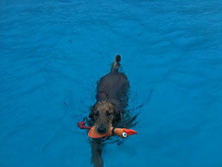 Skeeter diving dog st croix