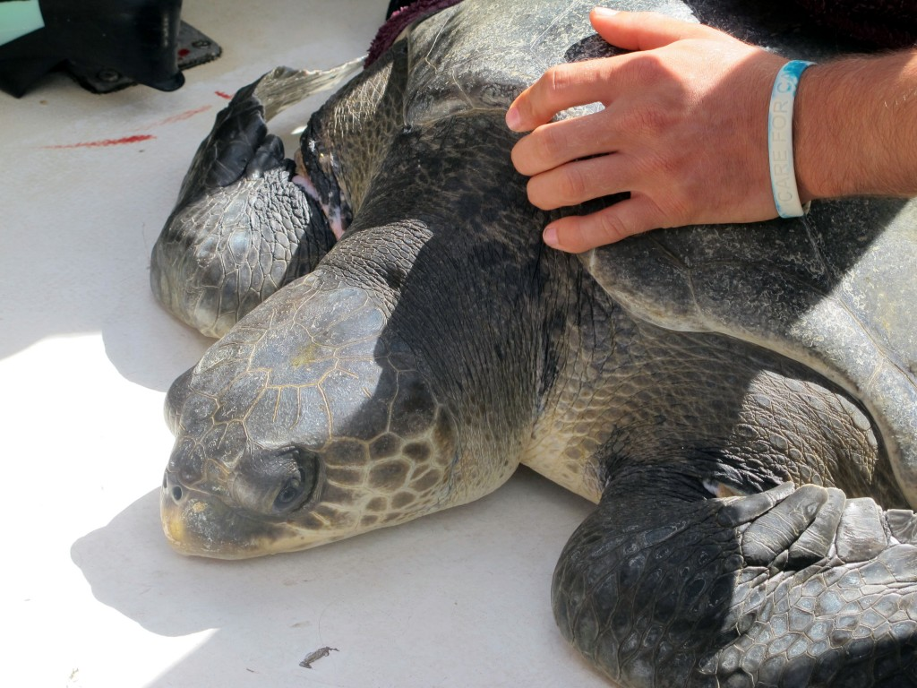 turtle after rescue
